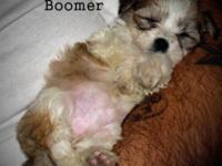 Born July 9th Allure House Havanese is thrilled to be