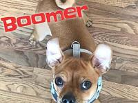 Boomer's story Boomer is a feisty 1 year old Min