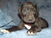 Booth is a gorgeous hunk of a Great Dane puppy. He has