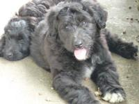 Boots is a black male aussiedoodle with a white blaze