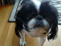 Meet Boots! He is an eight year old Japanese Chin! His