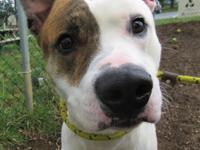 Hey there! I'm Boots Scoot, a young adult male pit bull