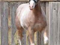 """BOOTY POWER"" APHA sabino red roan overo. This is one"