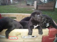 "These ""Borador""puppies are out of two registered well"