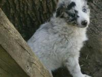 Have both parents: Mom is Blak & White Border Collie --