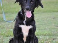 Border Collie - 377-12 - Medium - Young - Female - Dog