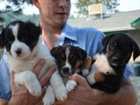 Border Collie - 7 Border Collie Mix Puppies - Medium -