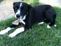 Border Collie - A-sundance - Medium - Adult - Male -