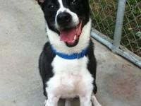 Border Collie - Ace - Medium - Adult - Male - Dog Ace
