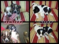 Australian Shepard and border collie cross. $125 each.