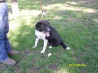 Border Collie - Bandit - Large - Young - Male - Dog