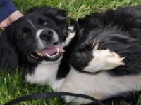 Border Collie - Bandit - Medium - Young - Male - Dog