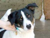 Border Collie - Benji - Large - Adult - Male - Dog high