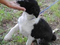 Border Collie - Billie Jean - Large - Baby - Female -
