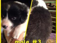 One female and Three male Border collie/blue heeler