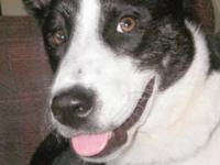 Border Collie - Boomerang - Medium - Young - Female -