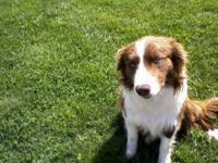 Border Collie - Border Collie - Large - Young - Male -