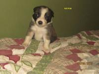Border Collie - Border Collie Mix - Small - Young -