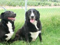 Border Collie - Brewsky And Sabrina - Bonded Pair -