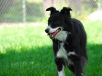 Border Collie - Bridgette - Medium - Adult - Female -