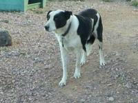 Border Collie - Buster - Large - Adult - Male - Dog
