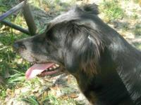 Border Collie - Cadillac - Large - Young - Female -