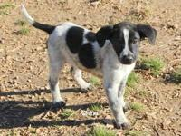 Border Collie - China - Large - Young - Female - Dog