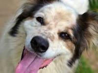 Border Collie - Cinder - Large - Adult - Male - Dog