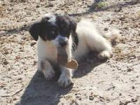 Border Collie - Cookie - Large - Young - Female - Dog