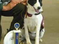 Border Collie - Cub Scout - Medium - Young - Male -
