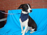 Border Collie - Cupid - Medium - Young - Male - Dog