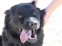 Border Collie - Dallas - Medium - Adult - Male - Dog
