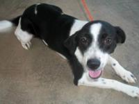 Border Collie - Daphne - Medium - Adult - Female - Dog
