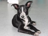 Border Collie - Delta - Medium - Young - Female - Dog