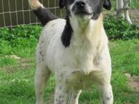 Border Collie - Desiree - Medium - Adult - Female -