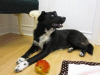 Border Collie - Dixie - Medium - Young - Female - Dog