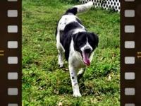 Border Collie - Dolly - Medium - Young - Female - Dog