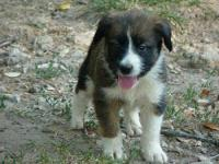 Border Collie - Duke - Medium - Baby - Male - Dog