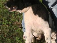 Border Collie - Earl - Medium - Adult - Male - Dog Earl