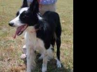Border Collie - Fern - Medium - Adult - Female - Dog