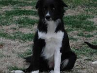 Border Collie - Ginger - Medium - Adult - Female - Dog