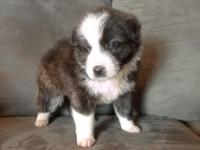 Super adorable puppies from a Border Collie mom and a