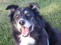 Border Collie - Grover - Large - Adult - Male - Dog