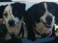 Border Collie - Harumph - Medium - Adult - Male - Dog