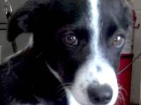 Border Collie - Holden - Small - Adult - Male - Dog