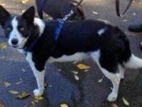 Border Collie - Inky - Medium - Senior - Female - Dog