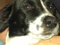 Border Collie - Ivory - Medium - Adult - Female - Dog
