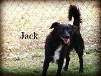 Border Collie - Jack - Medium - Young - Male - Dog MALE