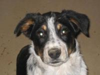 Border Collie - Jackson - Medium - Young - Male - Dog