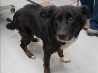 Border Collie - Jane - Medium - Senior - Female - Dog